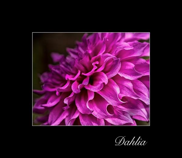 Dahlia by dwarf
