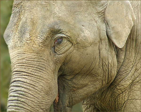 Portrait of an Elephant by Val Prowse