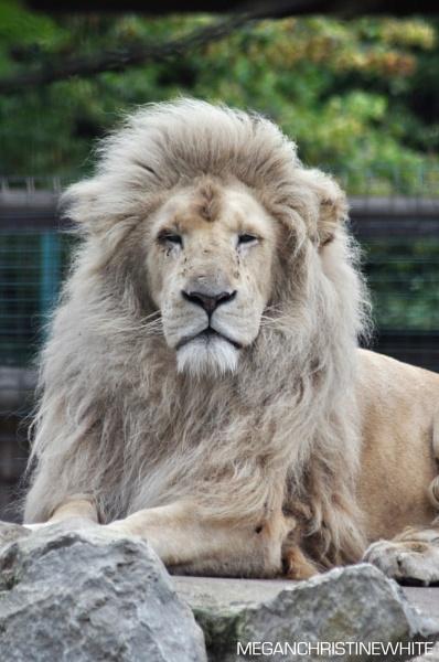 Male white lion by Meganwhitephotography