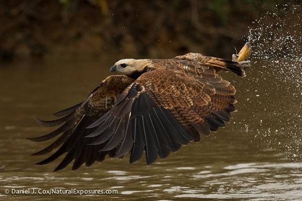 D441363 Black-collared Hawk by danieljcox