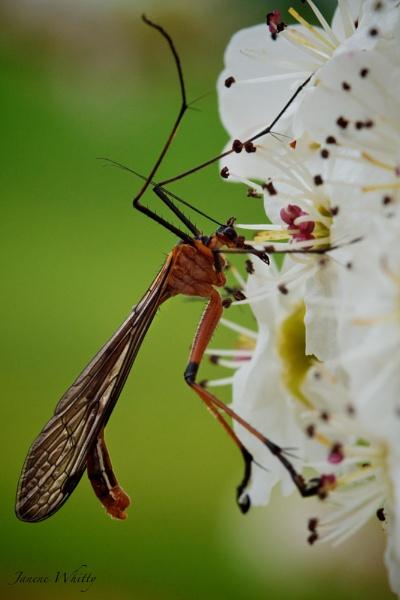Scorpion Fly by janenewhitty