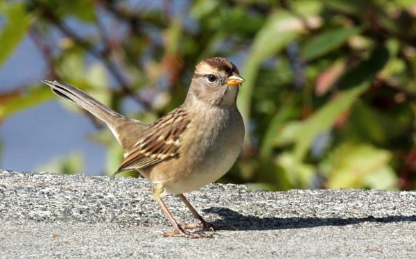 Sparrow  One by tonyguitar