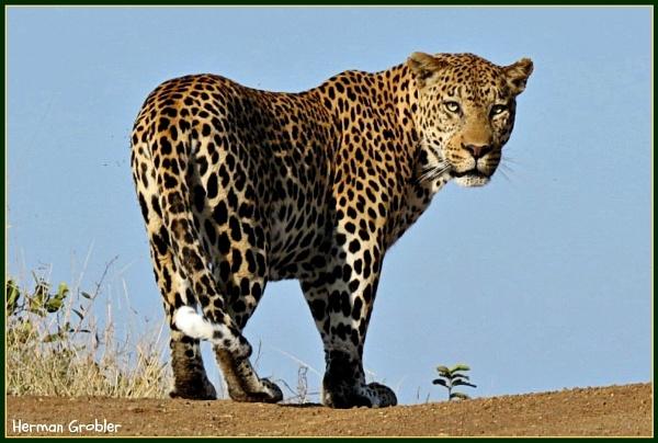 Leopard by Hermanus