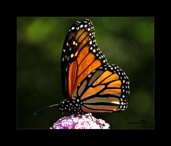 Last Monarch by doerthe