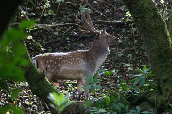 Deer In The Woods by karkley