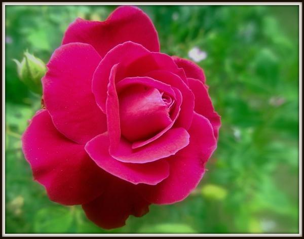 Simply a Rose.. by IshanPathak
