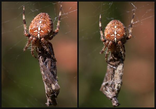 Garden Spider by Morpyre