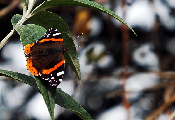 Red Admiral by Crespo