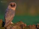 Melanistic Barn Owl by VinceJones