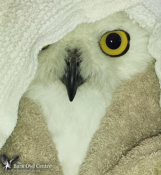 Snowy Owl (c) by VinceJones