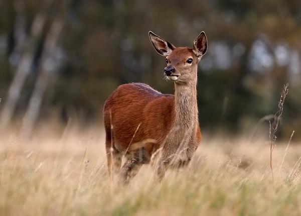 Red Deer Hinds by DerekL