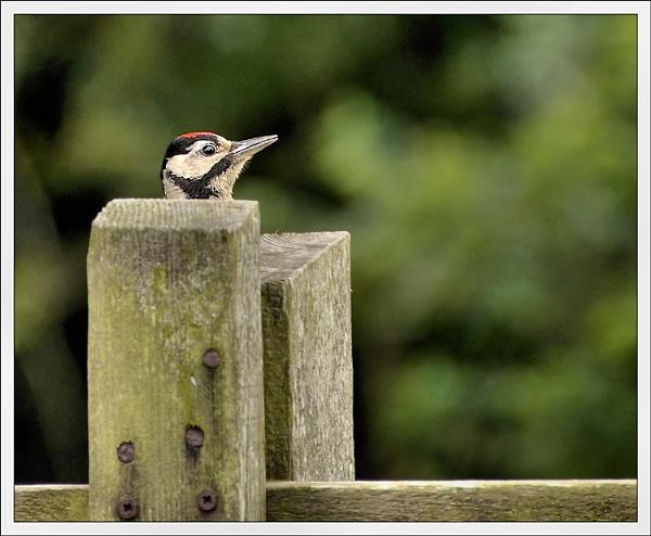 Shy Woodpecker !!! by bricurtis