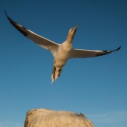 Gannet Take Off