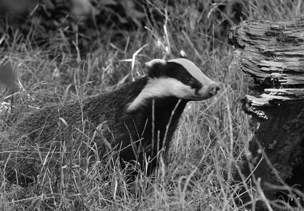 Badger (bwc) by davet2