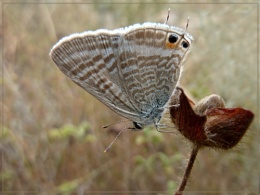 long tailed blue