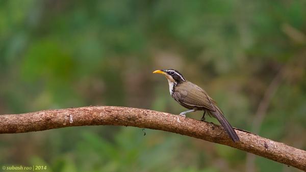 Indian Scimitar Babbler by subashcr