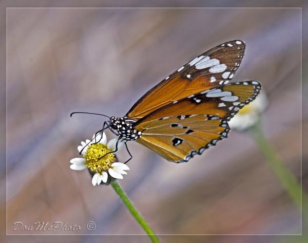 Plain Tiger (Danaus chrysippus) II by DonMc
