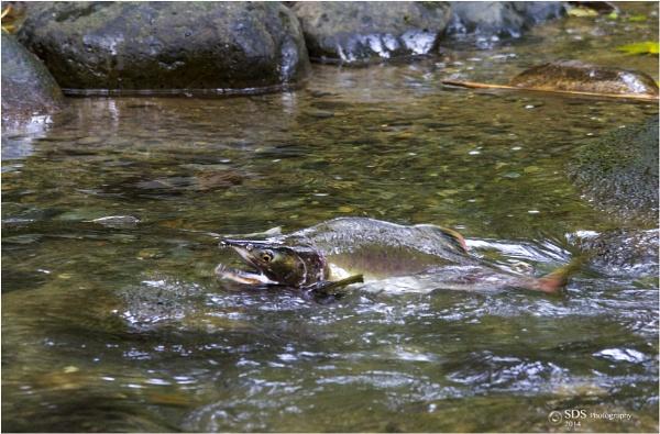 Heading Upstream by Daisymaye