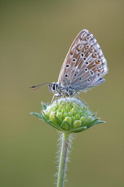 Chalk-Hill Blue (Lysandra coridon) by Ray_Seagrove