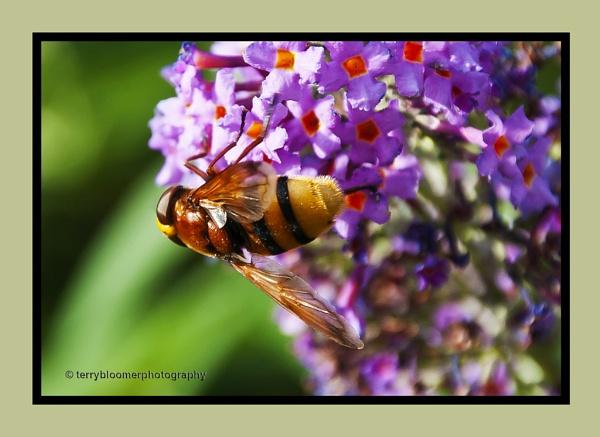 Hover-fly (Volucella zonaria) by SmartAS