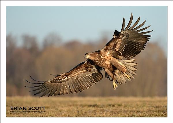 Polish Raptor by Brian_Scott