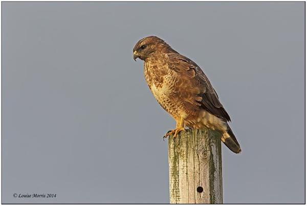Common Buzzard by Louise_Morris