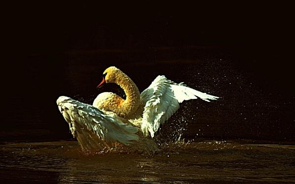 Swan  gone by oldham