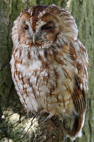 Tawny Owl - British Wildlife Centre. by JackC