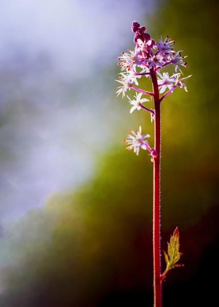 Autumn Tiarella by gowebgo