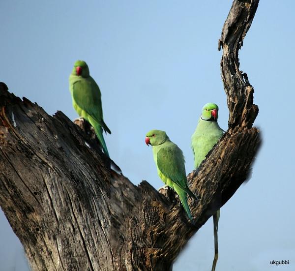 Parakeets by ukgubbi