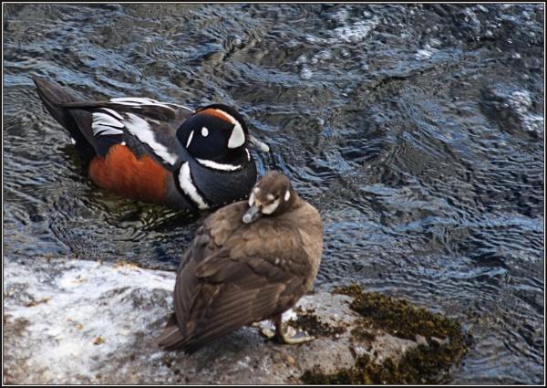 Harlequin Duck by scragend