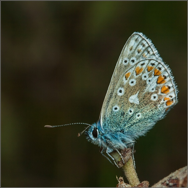 Common Blue (Female) #4 by scragend