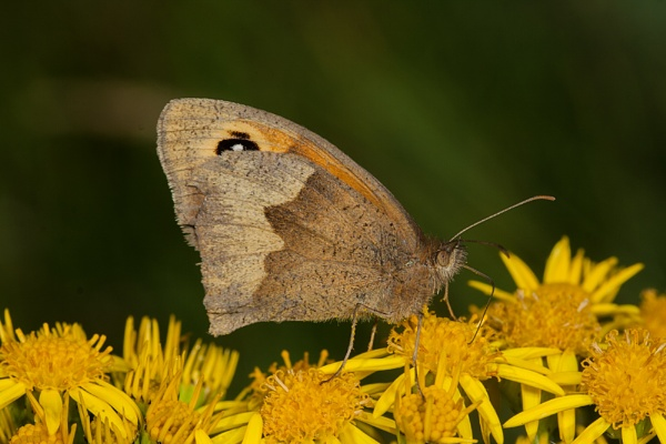 Meadow Brown by scragend
