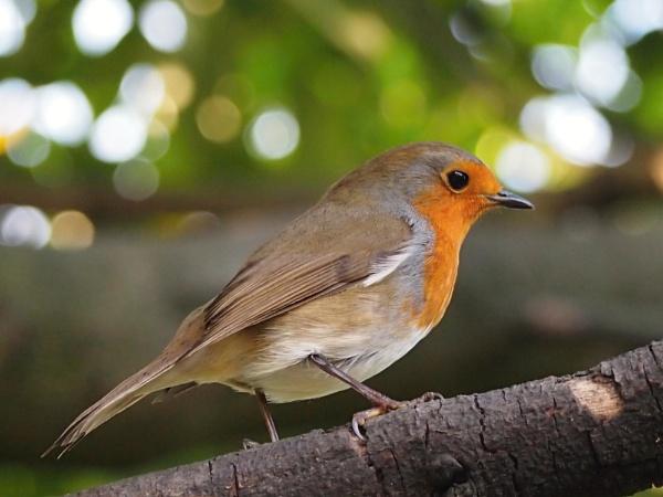 Our friendly Robin by straightbat