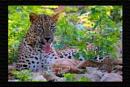 Male Leopard In TADOBA by bommalu