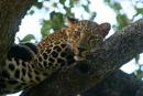 Leopard by bommalu
