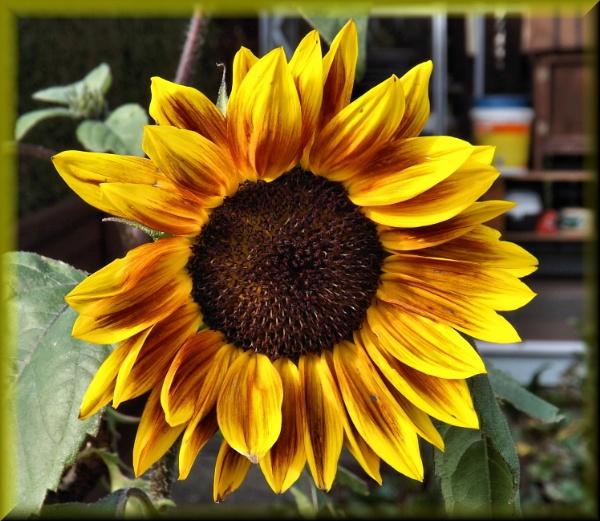 Sunflower by alancharlton