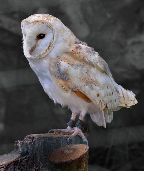 Barn Owl (bwc) by davet2