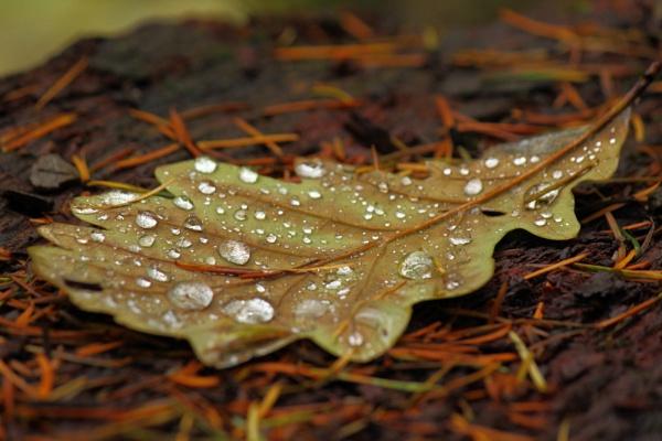 Fallen Oak Leaf by rammy62