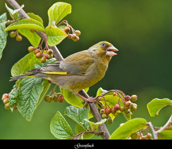 Greenfinch by FeatherFriend