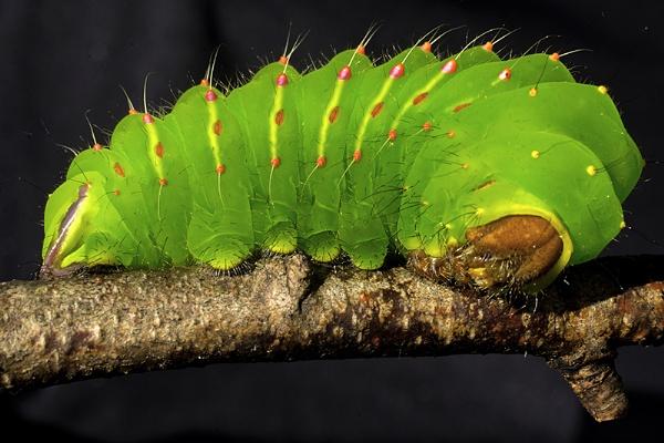 Polyphemus moth larva by jbsaladino