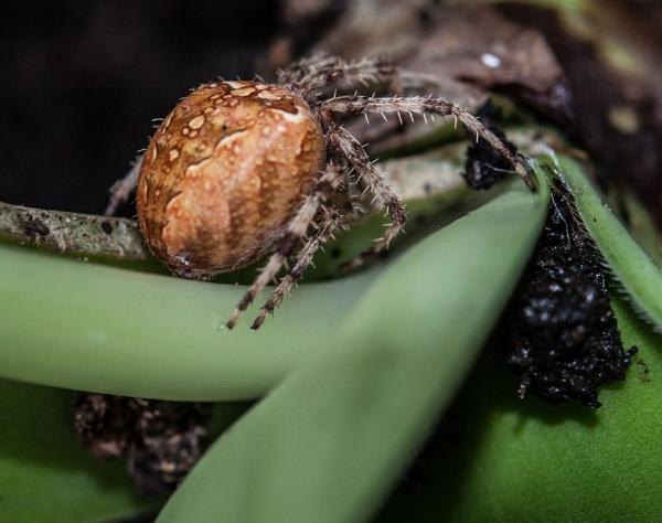 Orb spider by dasher
