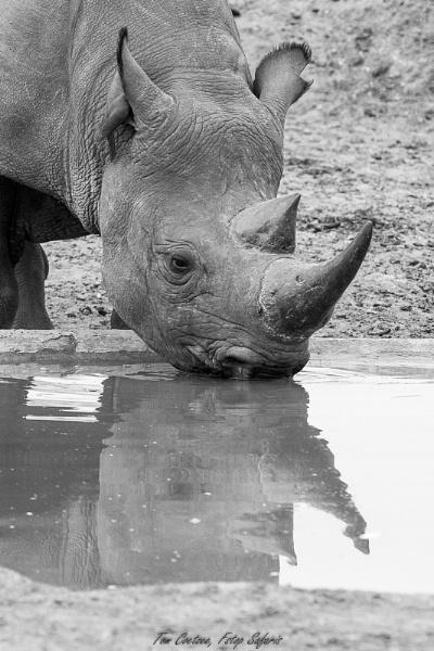 Black rhino by TomCoetzee