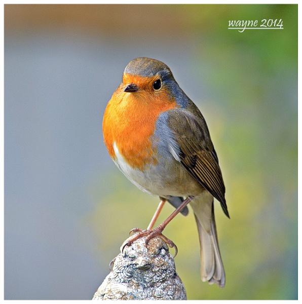 robin by wayne65