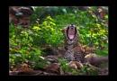 Leopard Yawn by bommalu
