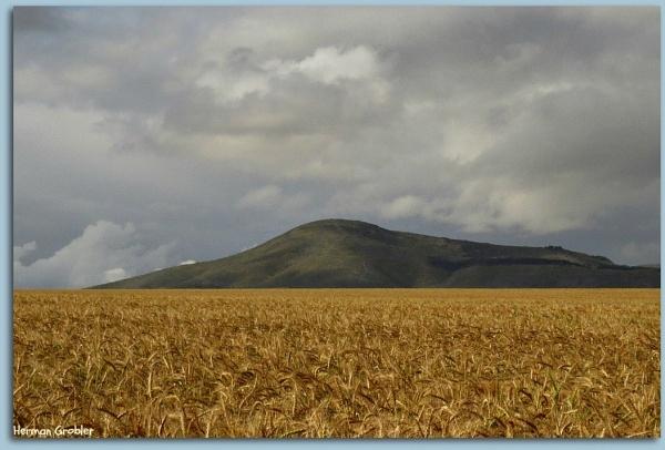 Wheatfields by Hermanus