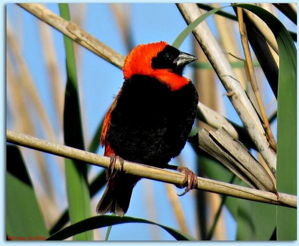 Red Bishop Weaver (Euplectes orix) by Hermanus