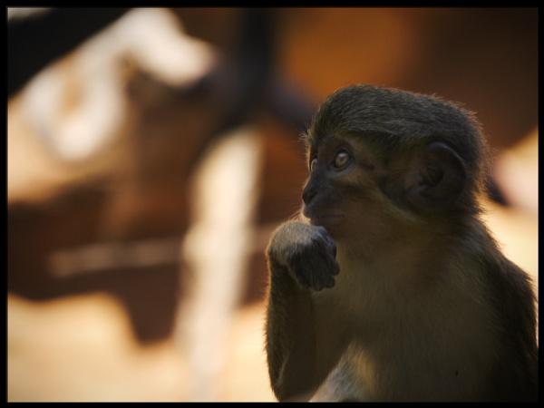 Monkey by buddiePhotographer