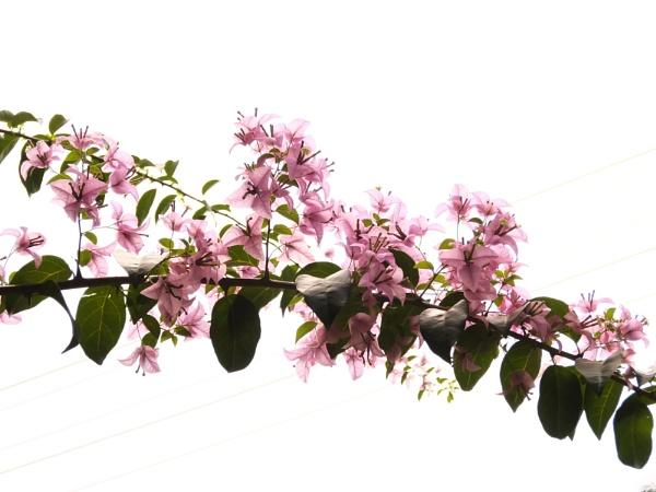 Pink Bougainvillea [SOOC] by jamesthalakottur