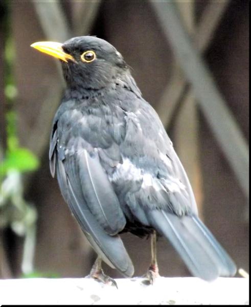 Blackbird: Male by alancharlton